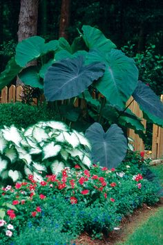 Caladiums and elephant ears! Love the Elephant ears. I like this layout and those BIG plants!!!