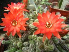 Echinopsis chamaecereus - Pesquisa Google