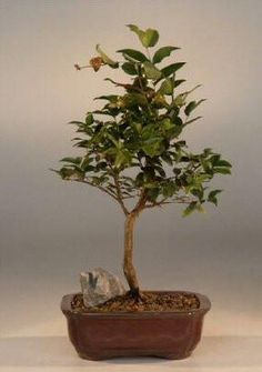 Flowering Jaboticaba Bonsai Tree - Medium(eugenia caulifora)Native to southern Brazil the Jaboticaba, pronounced in five (5) syllables just as it is spelled, is