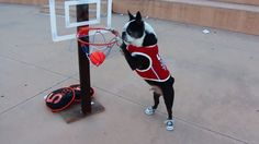 See this Amazing Dog who's Playing Basketball! ► http://www.bterrier.com/?p=31286 - https://www.facebook.com/bterrierdogs