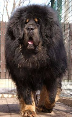 A Tibetan Mastiff. And that's how I was able to go anywhere and not worry about getting mugged. http://top10dogpictures.com/20-largest-dog-breeds.html
