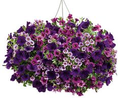 A x Flower Pillow to replant in your own container. Exposure: SunSeason: SummerThis FLOWER PILLOW® is pre-planted with: Superbells® Plum Calibrachoa Superbells® Miss Lilac CalibrachoaSupertunia® Royal Velvet® Petunia Container Flowers, Container Plants, Container Gardening, Succulent Containers, Outdoor Table Tops, Hanging Flower Baskets, Pot Plante, Fall Plants, Potted Plants