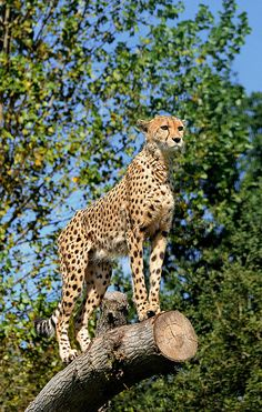 Cheetah (by katuryn) Small Wild Cats, Big Cats, Cats And Kittens, Siamese Cats, Nature Animals, Animals And Pets, Cute Animals, Primates, Mammals