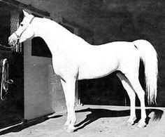 Morafic (Nazeer x Mabrouka) A 1956 Egyptian Arabian stallion.