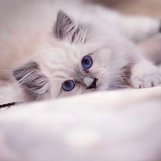 """Please join me to meet and greet our newest Star Kit, Keller. She is a 16 week old Blue Mitted Ragdoll from Waterdown, Ontario. Keller is the new love of my life. His name means """"little companion"""". I just bought my first house so I am finally allowed to haveContinue Reading"""