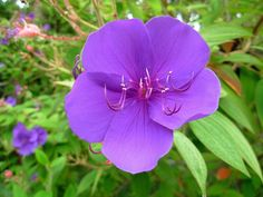 The princess flower plant is an exotic shrub, sometimes reaching the size of a small tree. Care of princess flower is easy and uncomplicated. Read this article to learn more.
