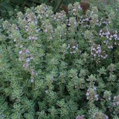 Thyme — This magickal herb is used in love spells and divinations, dream magick, spells to increase strength and courage, and charms against nightmares. Thyme is also used in healing spells, purifications, and rituals to develop extra-sensory perception. | SOURCE: The Wiccan Garden (http://angelfire.com/on/wicca)