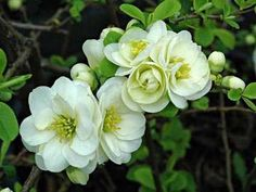 Chaenomeles speciosa 'Yukigoten' in Deeproot Plant Base online database - a freely searchable web resource for garden and wild plants Bushes And Shrubs, Flowering Bushes, Sea Flowers, White Flowers, Chaenomeles, Buy Christmas Tree, Spring Blossom, Garden Care, Tropical Plants