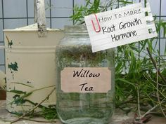 Willow Tea: Natures Help For Permaculture Gardeners