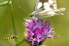 Una mariposa medioluto norteña (Melanargia galathea) busca néctar en una flor en Dunstable, Inglaterra (Tony Margiocchi, 2017)
