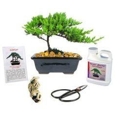 Eve's Japanese Juniper Bonsai Tree Gift Kit
