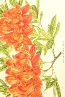 v.18 (1871) - L'Illustration horticole : - Biodiversity Heritage Library
