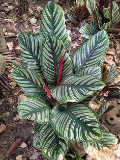 Calathea Plant Care Guide: Tips for Growing - Garden Lovers Club Outdoor Plants, Garden Plants, House Plants, Snake Plant Care, Calathea Plant, Zebra Plant, Flower Pot Design, Hosta Gardens, Growing Gardens