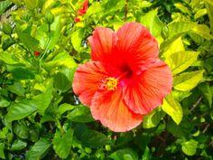Hibiscus Hedge - Cyprus