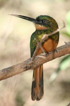Série com a Fêmea do Ariramba - Ariramba-da-cauda-ruiva - Bico-de-agulha - Bico-de-agulha-de-rabo-vermelho - Beija-flor-grande - Beija-flor-d'água (Galbula ruficauda) - A series with a female of a Rufous-tailed Jacamar 28 17-06-07 219