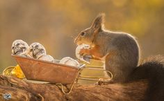 Amazing and Interesting Gesture of Squirrels by Geert Weggen - See more at: http://www.yourgreatplaces.com/amazing-and-interesting-gesture-of-squirrels-by-geert-weggen#sthash.fED8geTT.dpuf