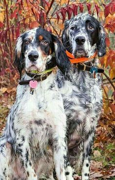 English Setters ~ Classic Look & Trim Dashing Bondhu Llewellin Setter bloodlines Setter Puppies, Dogs And Puppies, Doggies, Dog Training Tools, Tallest Dog, Group Of Dogs, Hunting Dogs, Grouse Hunting, Irish Setter