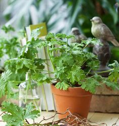 Indoor Plants, Herbs, Garden, Flowers, Geranium, Skott, Outdoors, Inside Plants, Garten