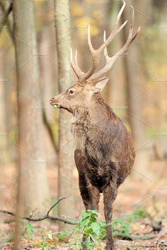 Deer Photos Deer by byrdyak