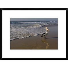 "Global Gallery 'Australian Pelican on Beach' Framed Photographic Print Size: 18"" H x 24"" W x 1.5"" D"