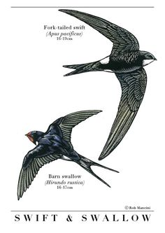 Swift Print for Dad  Bird illustration - Swift and Swallow - bird art, print of original scratchboard artwork - A4
