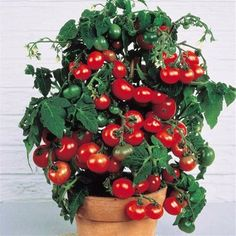 2016 Rushed New Outdoor Plants Promotion Garden tomato seed Potted Bonsai Balcony fruit Vegetables seed 100pcs