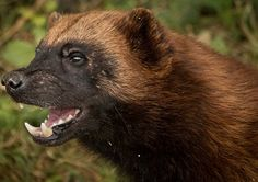 Wolverine Animal Totem Symbolism & Meanings