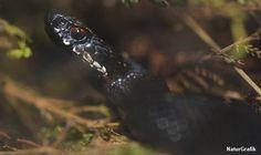 Hugormen kan også optræde i en sort variant og kan flygtigt ligne en snog. Den har dog ikke snogens gule nakkepletter.