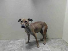 SAFE 06/01/14 by Rebound Hounds ---  BROOKLYN CENTER   DIAMOND - A0998206  ***PREGNANT***SAFER: EXPERIENCED HOME *** RESCUE ONLY ***    FEMALE, TAN, PIT BULL MIX, 3 yrs  STRAY - STRAY WAIT, NO HOLD Reason STRAY   Intake Date 04/30/2014, https://www.facebook.com/photo.php?fbid=797317840281097&set=a.617941078218775.1073741869.152876678058553&type=3&theater +++++FRIENDLY+++++