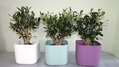 small contemporary square planter trio with rare small olive trees. Delivery in first week of December. Christmas gift ideas, Xmas gifts, Xmas gifts for her, Christmas present ideas, Christmas gift, Christmas Presents, gift for her him dad mum mother father men girlfriend boyfriend wife husband friends women gardener, plant gift. Best4garden http://www.amazon.co.uk/dp/B00P2NGMFM/ref=cm_sw_r_pi_dp_AY0Bub0C7YHRC