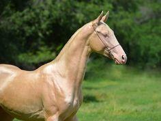 Сыпайы - Конный завод Dacor Different Horse Breeds, Horse Coat Colors, Know Your Place, Akhal Teke Horses, Rare Horses, Golden Horse, Living Legends, Old Things, Nature