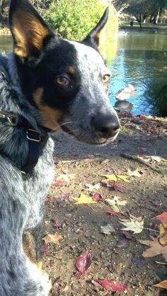 Brutus - Australian Cattle Dog - Blue Heeler - Queensland Heeler   ...........click here to find out more     http://googydog.com