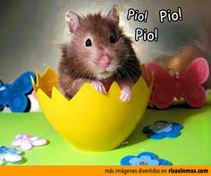 Hamster pollito.