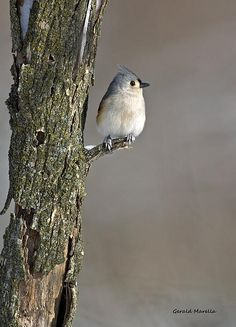 Tufted Titmouse - Photography by Gerald Marella