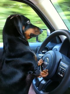 Daschunds are excellent drivers. Dogs love cars.