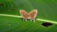 Gyas Jewelmark (Sarota gyas) - Photo by Gill Carter Moth Species, Butterfly Species, Beautiful Butterflies, Insects, Butterflies, Fotografia
