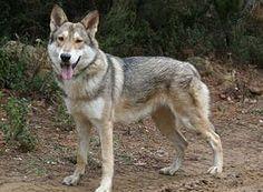 Cute Coydog pup (coyote / Dog) hybrid AK Wolf