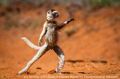 """Танцюючий сіфака, Alison Buttigieg. Кращі фотографії фотоконкурса """"Комедійні фотографії дикої природи-2015"""""""