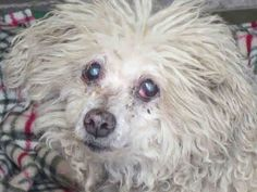 OPCA Shelter Network Alliance · Orange, CA ~ Animal ID #A1370142 Orange County Animal Care Center *** 8 Year Old SENIOR ALERT!!! *** ~ New Photo Thread ~ ‒ I am a Female (Spayed), White Miniature Poodle mix. The shelter thinks I am about 8 years old. Orange County Animal Care Center ‒ (714) 935-6848 https://www.facebook.com/OPCA.Shelter.Network.Alliance/photos/pb.481296865284684.-2207520000.1422312736./765865870161114/?type=3&theater