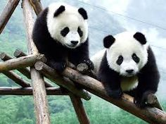 Bildergebnis für panda wallpaper