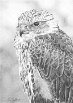 Saker Falcon study by ~clive64 on deviantART