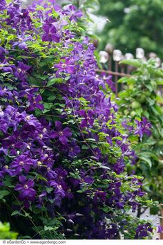 """""""Deep royal purple flowers are produced in profusion in midsummer on this medium sized vine. Each flower is about 3 inches across and can cover the vine. Flower Trellis, Garden Trellis, Garden Plants, Love Garden, Summer Garden, Clematis, Back Gardens, Outdoor Gardens, Planting Shrubs"""
