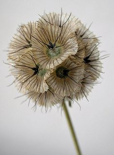 Scabiosa Stellata Pods - Scabiosa - Flowers and Fillers - Flowers by category Blue Wedding Flowers, Fall Flowers, Floral Wedding, Wedding Bouquets, Lilac Wedding, Wedding Dresses, Scabiosa Flowers, Scabiosa Pods, Mediterranean Plants