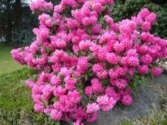 Azaleas, Se pueden plantar en pleno otoño o invierno, para que sean capaces de florecer con la llegada de la primavera, estas plantas de exterior se deben de abonar con frecuencias y sembrarse en suelos fértiles.