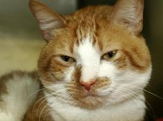 +++ SUPER #URGENT +++ #wlf #SHARE ~ TO BE DESTROYED 4/17/2015 #NYC #Manhattan Center ~ PLS #ADOPT #FOSTER immediately! ~ My name is RAYBAN. My Animal ID # is A1031929. – P I am a male org tabby and white domestic sh. The shelter thinks I am about 3 YEARS old. I came in the shelter as a STRAY on 04/01/2015 from NY 10453, owner surrender reason stated was STRAY.