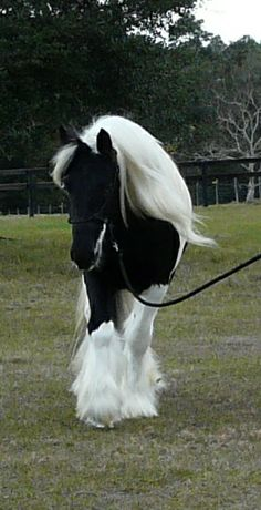 Anubis at Gypsy CaraVanners. Gypsy Vanner Stallion. Gypsy Cob Stallion.