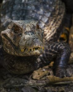 crotalinae:Cuvier's dwarf caiman (Paleosuchus palpebrosus)Gladys Porter Zoo, Brownsville Texas. (Photo by Crotalinae)