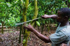 Farmer in Ghana cutting a cocoa pod with a machete