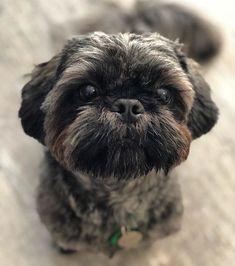 20 Best Brindle Shih Tzus Images In 2018 Shih Tzus Cubs Doggies