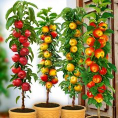 Potted Fruit Trees, Espalier Fruit Trees, Citrus Trees, Home Vegetable Garden, Fruit Garden, Orta Vertical, Micro Garden, Organic Fruits And Vegetables, Small Trees